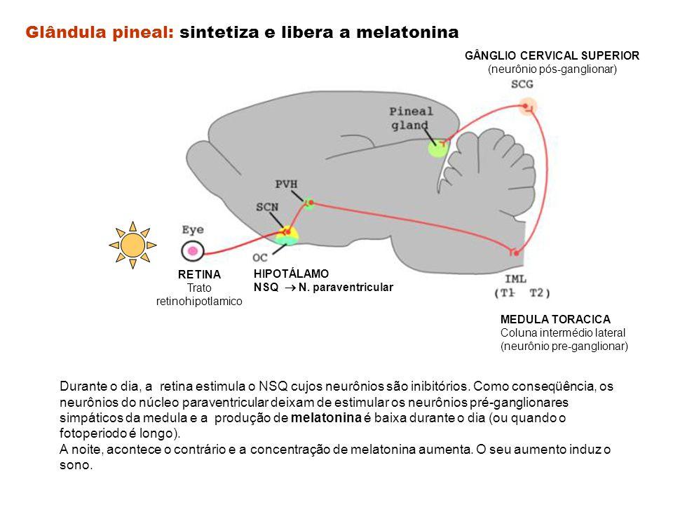 Glândula pineal: sintetiza e libera a melatonina Durante o dia, a retina estimula o NSQ cujos neurônios são inibitórios. Como conseqüência, os neurôni