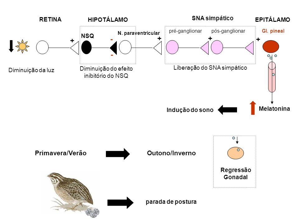 Melatonina pré-ganglionar N. paraventricular Gl. pineal SNA simpático NSQ RETINA HIPOTÁLAMO pós-ganglionar EPITÁLAMO - - + + parada de postura Primave