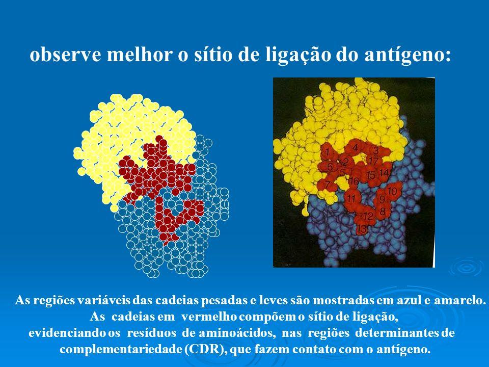 o sítio de ligação com o antígeno é formado, como afirmado, por regiões hipervariáveis. Veja: