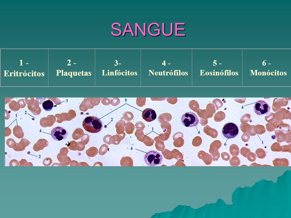 SANGUE 1 - Eritrócitos 2 - Plaquetas 3- Linfócitos 4 - Neutrófilos 5 - Eosinófilos 6 - Monócitos