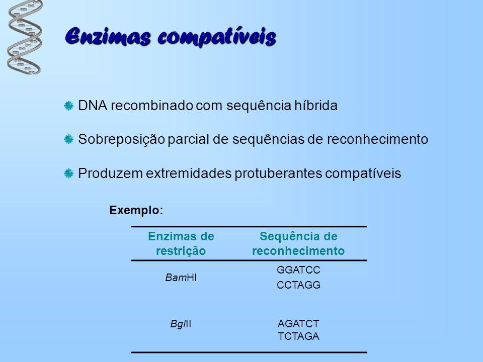 Enzimas compatíveis Produzem extremidades protuberantes compatíveis Sobreposição parcial de sequências de reconhecimento DNA recombinado com sequência