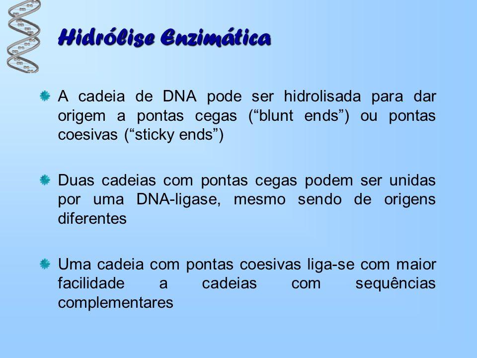 Hidrólise Enzimática A cadeia de DNA pode ser hidrolisada para dar origem a pontas cegas (blunt ends) ou pontas coesivas (sticky ends) Duas cadeias co