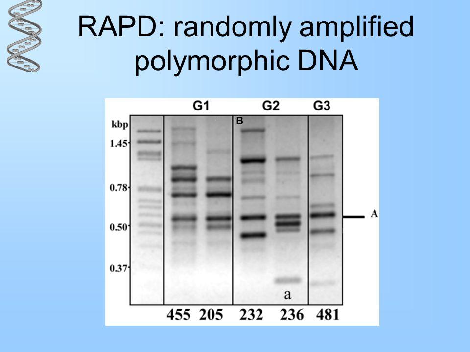RAPD: randomly amplified polymorphic DNA B