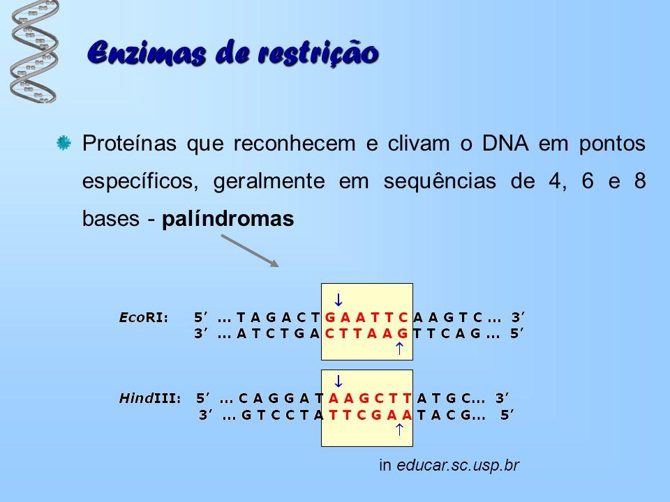 Enzimas de restrição Enzimas produzidas por bactérias para restringir a proliferação de vírus invasores Diferentes tipos de enzimas clivam diferentes sequências de bases de DNA Ajuda a detectar a presença de diferentes formas de determinados genes in 1fiuA-1crf_-active