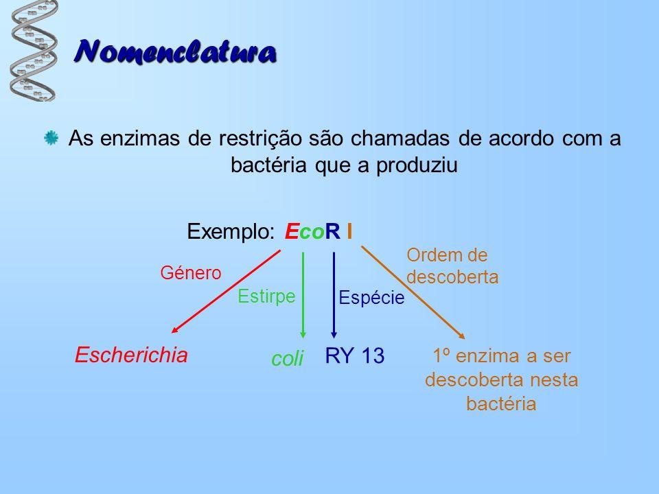 Nomenclatura As enzimas de restrição são chamadas de acordo com a bactéria que a produziu RY 13 Exemplo: EcoR I Escherichia coli 1º enzima a ser desco