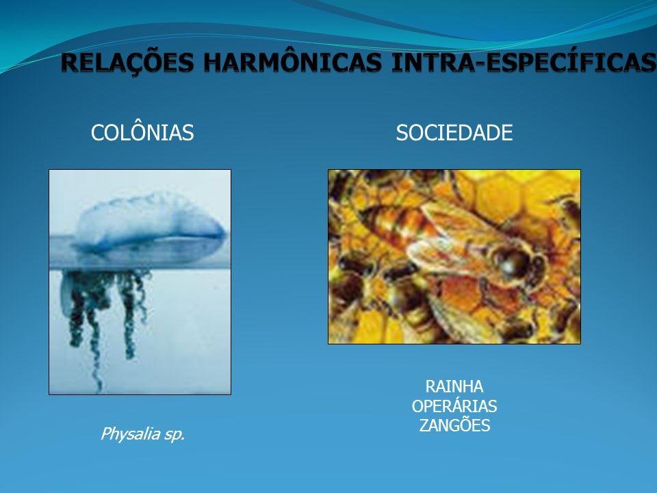COLÔNIAS Physalia sp. SOCIEDADE RAINHA OPERÁRIAS ZANGÕES