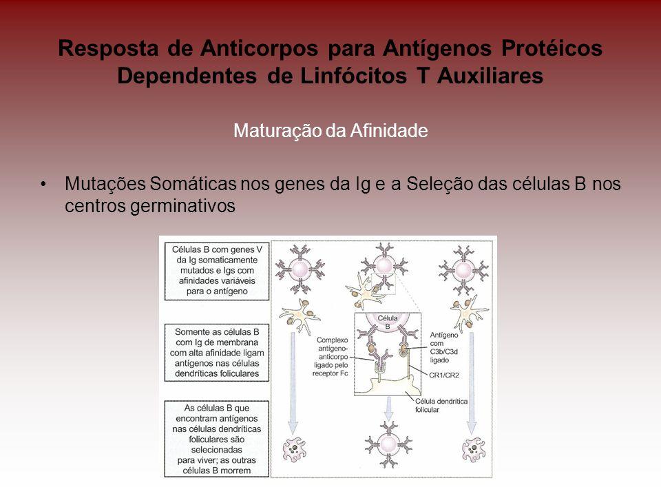 Resposta de Anticorpos para Antígenos Protéicos Dependentes de Linfócitos T Auxiliares Maturação da Afinidade Mutações Somáticas nos genes da Ig e a S