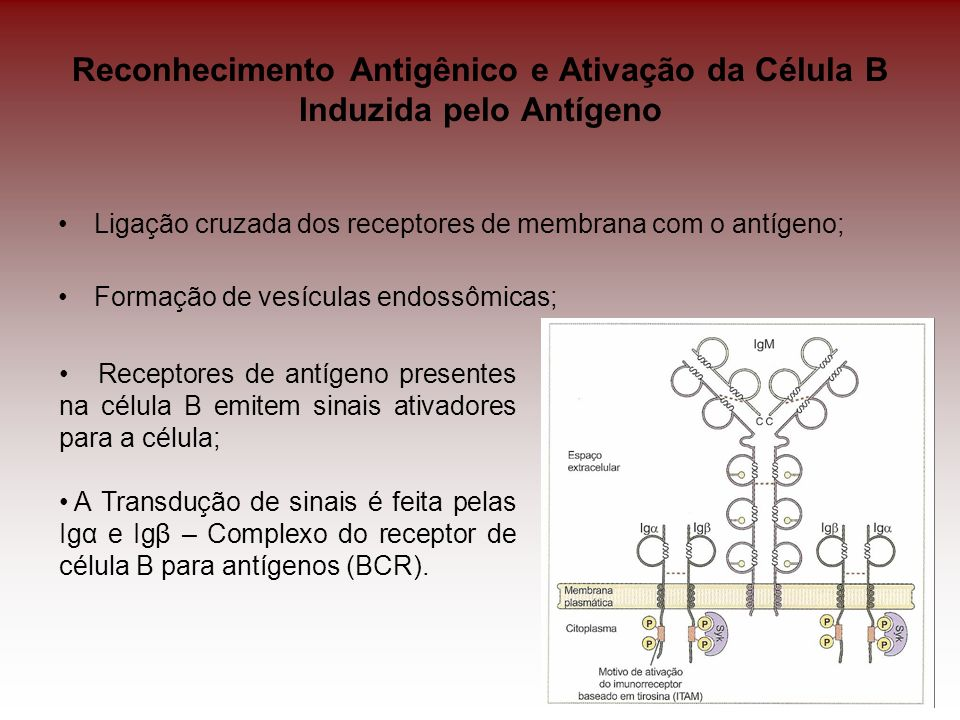 Reconhecimento Antigênico e Ativação da Célula B Induzida pelo Antígeno Ligação cruzada dos receptores de membrana com o antígeno; Formação de vesícul