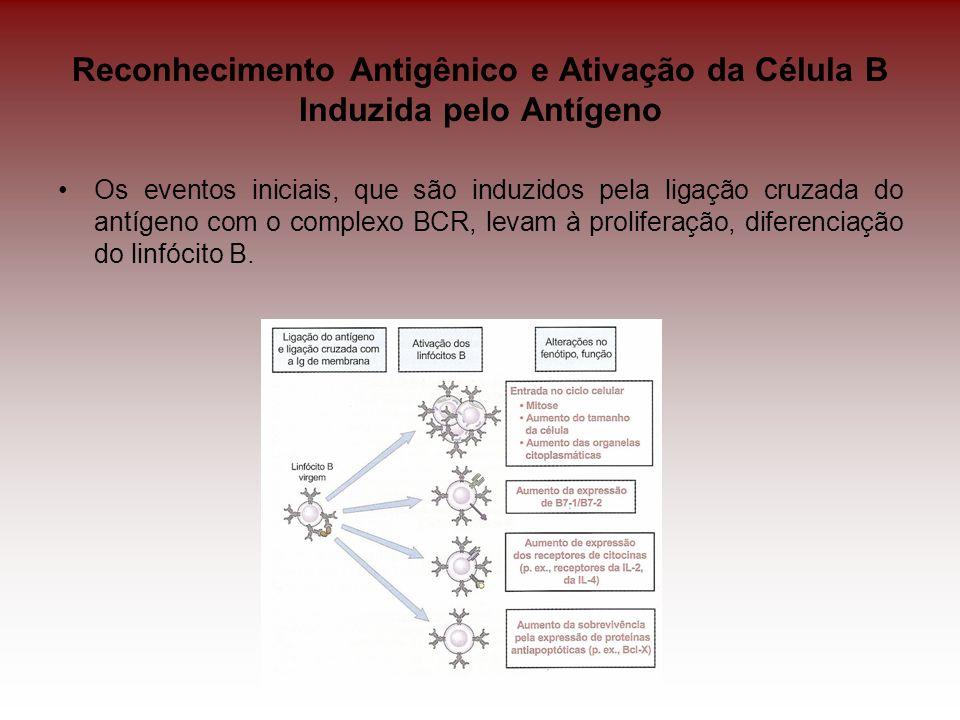 Resposta de Anticorpos para Antígenos Independentes de Célula T Anticorpos de baixa afinidade (IgM) Polissacarídeos, glicolipídeos e os ácidos nucléicos não podem ser processados e apresentados em associação com MHC; São polivalentes, sendo compostos por múltiplos determinantes antigênicos; Muitos polissacarídeos ativam o sistema complemento pela via alternativa, fornecendo o segundo sinal para a ativação do Linfócito B