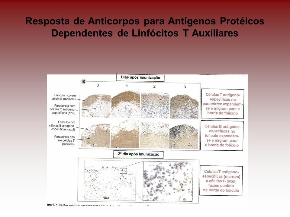 Apresentação do Antígeno pelas células B às células T auxiliares tem a participação de moléculas co-estimulatórias