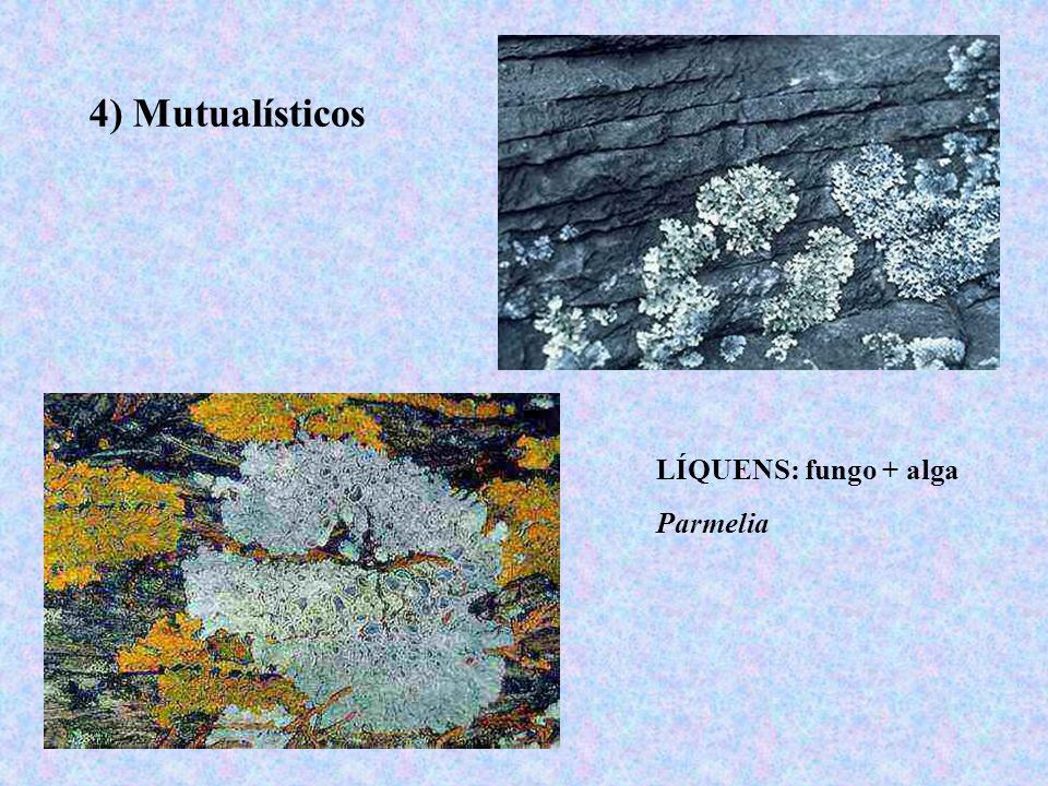 4) Mutualísticos LÍQUENS: fungo + alga Parmelia