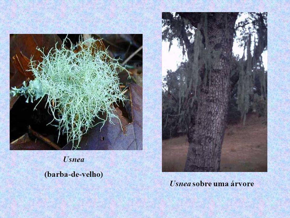 Usnea (barba-de-velho) Usnea sobre uma árvore