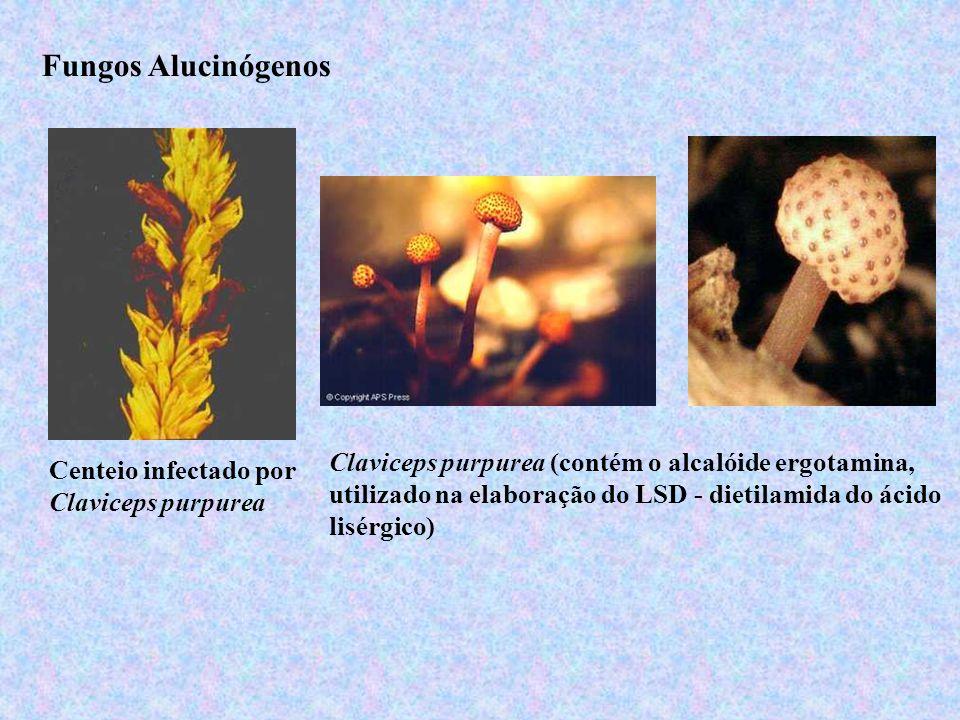Fungos Alucinógenos Centeio infectado por Claviceps purpurea Claviceps purpurea (contém o alcalóide ergotamina, utilizado na elaboração do LSD - dieti