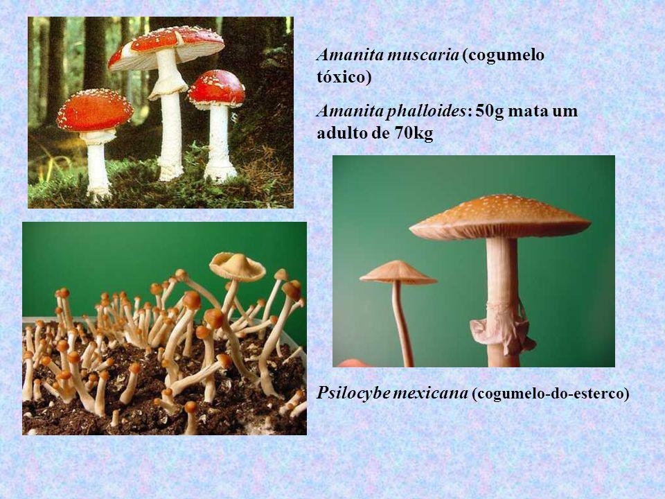 Amanita muscaria (cogumelo tóxico) Amanita phalloides: 50g mata um adulto de 70kg Psilocybe mexicana (cogumelo-do-esterco)