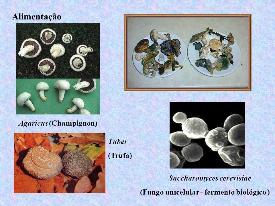 Alimentação Agaricus (Champignon) Saccharomyces cerevisiae (Fungo unicelular - fermento biológico ) Tuber (Trufa)