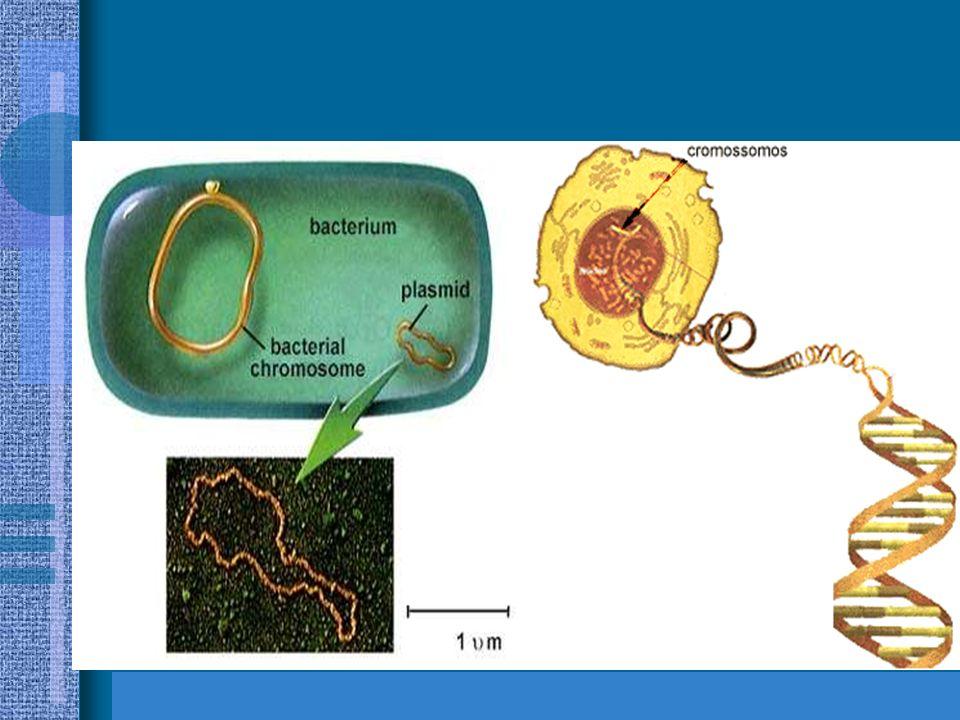 CROMOSSOMOS nas células eucarióticas, o cromossomo é formado por DNA associado a moléculas de histona, que são proteínas básicas –encontram-se separad