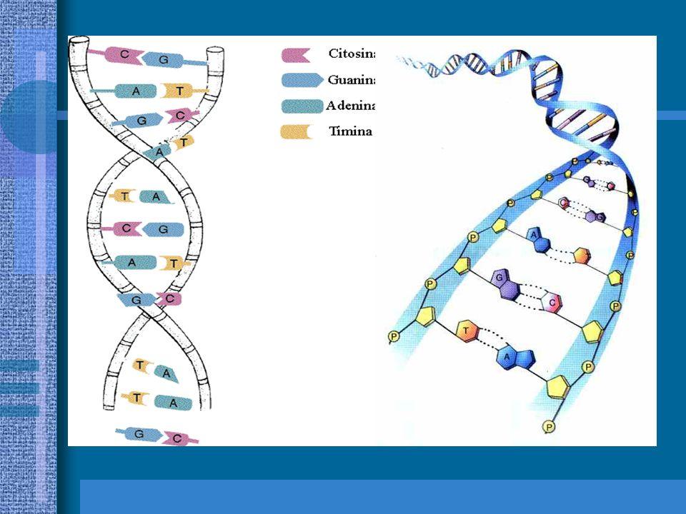 DIFERENÇAS ENTRE DNA E RNA DNA dupla cadeia de nucleotídeos enroladas em hélice e ligadas pelas bases nitrogenadas; pentose: desoxirribose; bases: ade