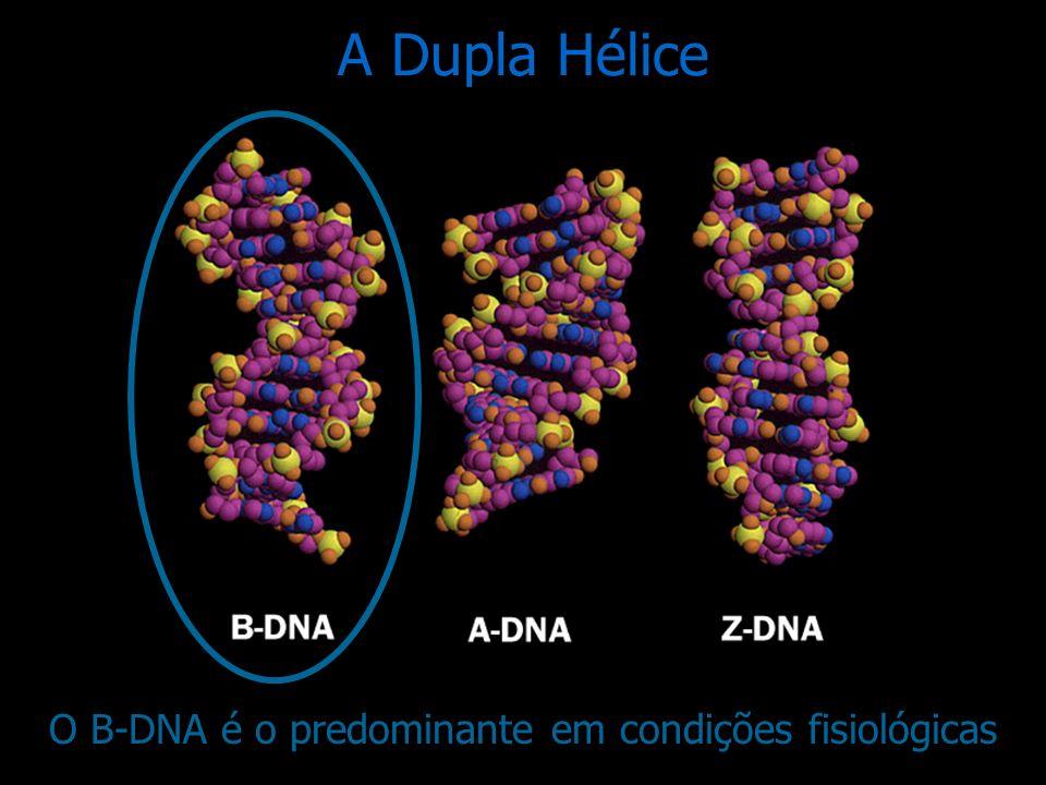 A forma predominante de torção da espiral do DNA é para a direita ou sentido horário A Dupla Hélice