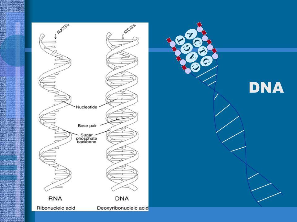 MOLÉCULA DE DNA Chargaff: % de A = % de T e % de G = % de C Watson e Crick : Dupla Hélice AT CG TA
