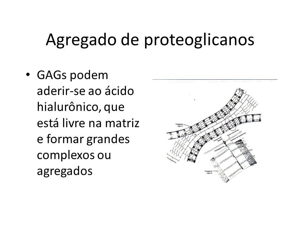 Agregado de proteoglicanos GAGs podem aderir-se ao ácido hialurônico, que está livre na matriz e formar grandes complexos ou agregados