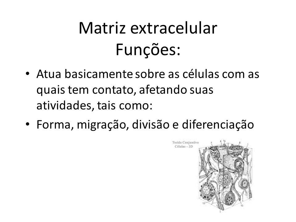 Matriz extracelular Funções: Atua basicamente sobre as células com as quais tem contato, afetando suas atividades, tais como: Forma, migração, divisão e diferenciação