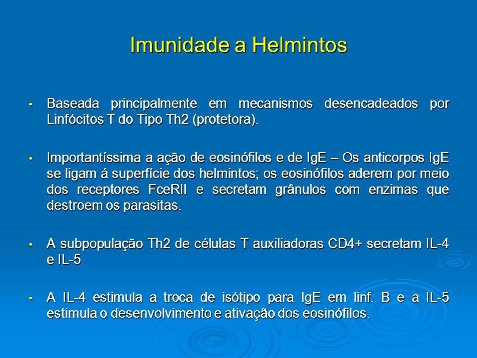 Imunidade a Helmintos Baseada principalmente em mecanismos desencadeados por Linfócitos T do Tipo Th2 (protetora). Baseada principalmente em mecanismo
