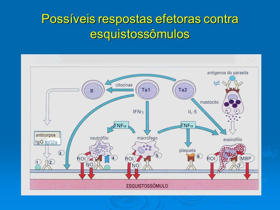 Possíveis respostas efetoras contra esquistossômulos IgG2a IgE