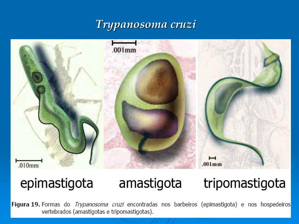 Respostas Imunológicas de Vertebrados a Helmintos O hospedeiro desenvolve inflamação e hipersensibilidade na infecção por alguns nematódeos gastrointestinais.