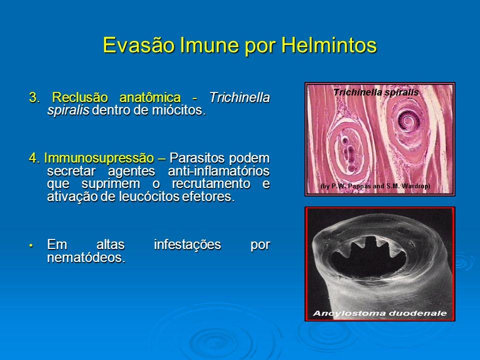 Evasão Imune por Helmintos 3. Reclusão anatômica - Trichinella spiralis dentro de miócitos. 4. Immunosupressão – Parasitos podem secretar agentes anti