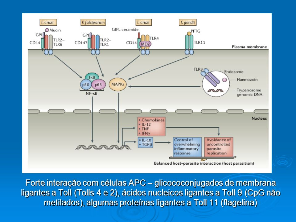 Forte interação com células APC – glicococonjugados de membrana ligantes a Toll (Tolls 4 e 2), ácidos nucleicos ligantes a Toll 9 (CpG não metilados),