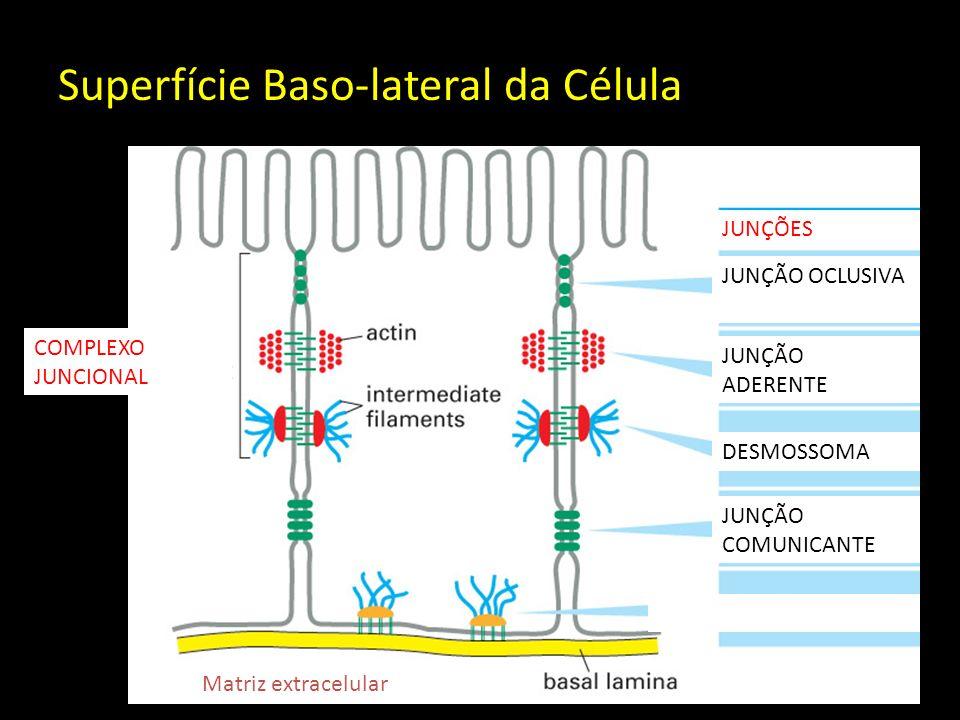 Superfície Baso-lateral da Célula JUNÇÃO OCLUSIVA JUNÇÕES JUNÇÃO ADERENTE DESMOSSOMA JUNÇÃO COMUNICANTE COMPLEXO JUNCIONAL Matriz extracelular