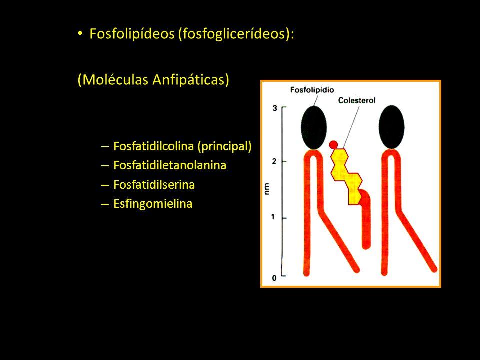 Fosfolipídeos (fosfoglicerídeos): (Moléculas Anfipáticas) – Fosfatidilcolina (principal) – Fosfatidiletanolanina – Fosfatidilserina – Esfingomielina