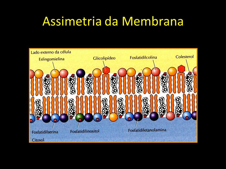 Assimetria da Membrana