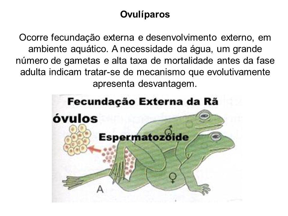 Ovulíparos Ocorre fecundação externa e desenvolvimento externo, em ambiente aquático. A necessidade da água, um grande número de gametas e alta taxa d