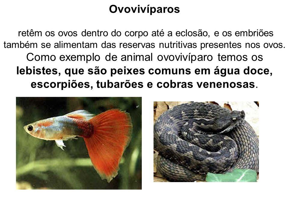 Ovovivíparos retêm os ovos dentro do corpo até a eclosão, e os embriões também se alimentam das reservas nutritivas presentes nos ovos. Como exemplo d