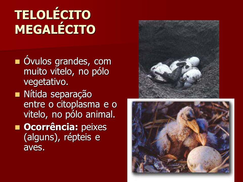 TELOLÉCITO MEGALÉCITO Óvulos grandes, com muito vitelo, no pólo vegetativo. Óvulos grandes, com muito vitelo, no pólo vegetativo. Nítida separação ent