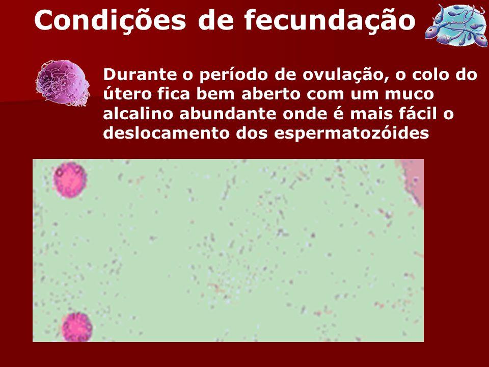 Durante o período de ovulação, o colo do útero fica bem aberto com um muco alcalino abundante onde é mais fácil o deslocamento dos espermatozóides Con