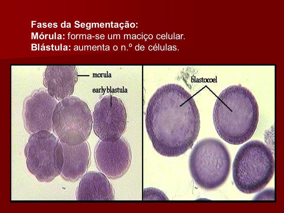 Fases da Segmentação: Mórula: forma-se um maciço celular. Blástula: aumenta o n.º de células.