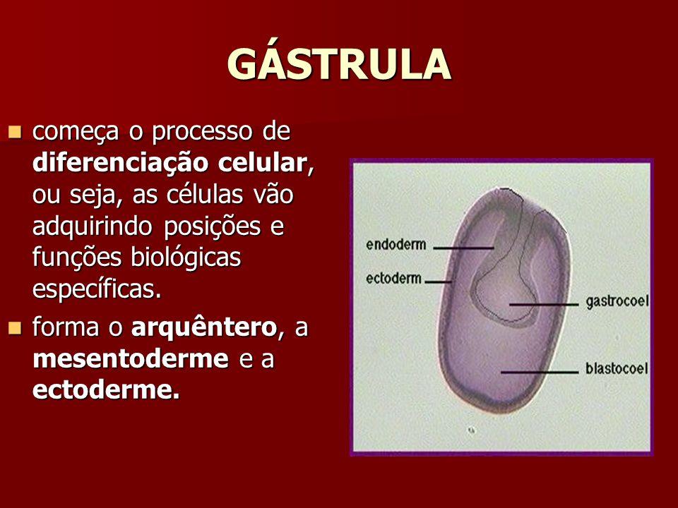 GÁSTRULA começa o processo de diferenciação celular, ou seja, as células vão adquirindo posições e funções biológicas específicas. começa o processo d