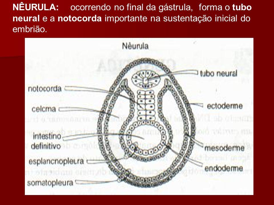 NÊURULA: ocorrendo no final da gástrula, forma o tubo neural e a notocorda importante na sustentação inicial do embrião.