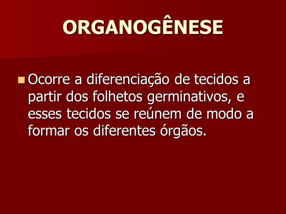 ORGANOGÊNESE Ocorre a diferenciação de tecidos a partir dos folhetos germinativos, e esses tecidos se reúnem de modo a formar os diferentes órgãos. Oc