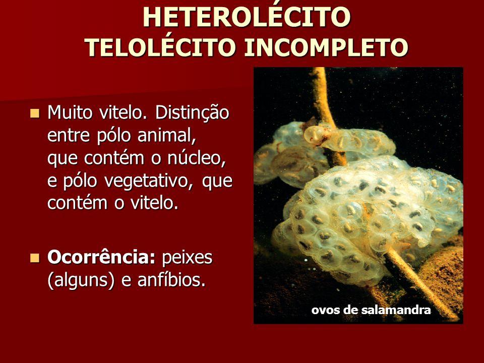 HETEROLÉCITO TELOLÉCITO INCOMPLETO Muito vitelo. Distinção entre pólo animal, que contém o núcleo, e pólo vegetativo, que contém o vitelo. Muito vitel