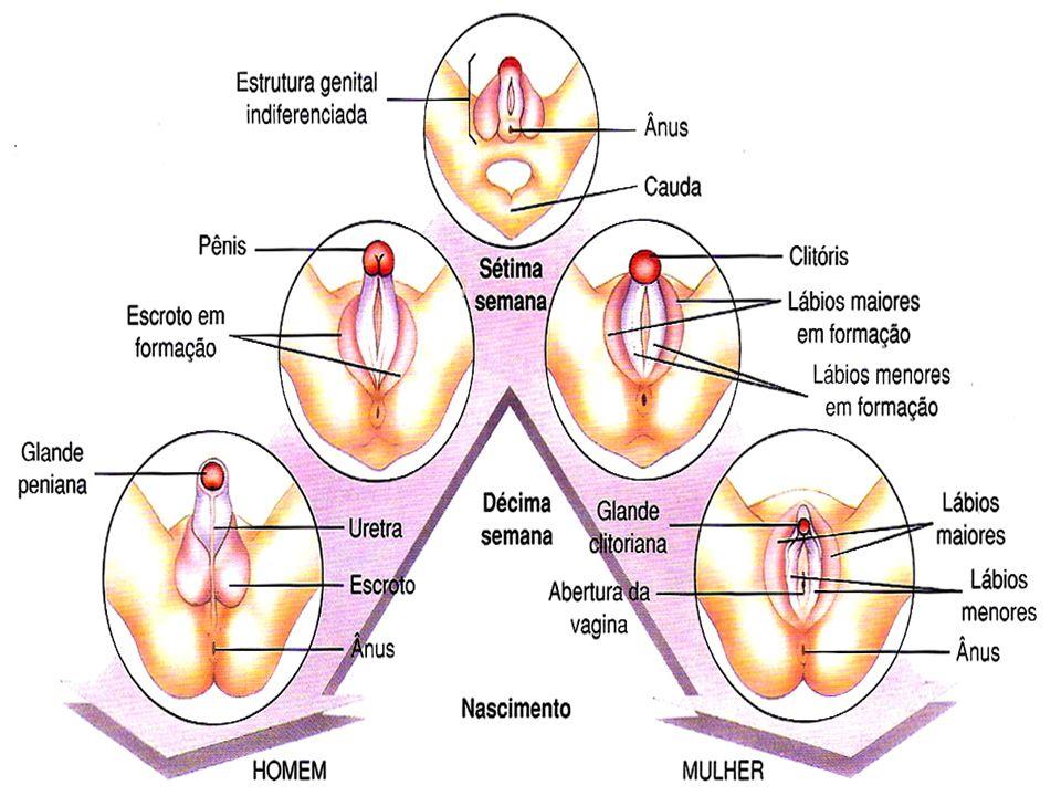 OVÁRIOS ESTRÓGENO (estradiol) Produzido pelas células do folículo em desenvolvimento; Determina características sexuais secundárias; Induz o amadurecimento dos órgãos genitais; Promove o impulso sexual.