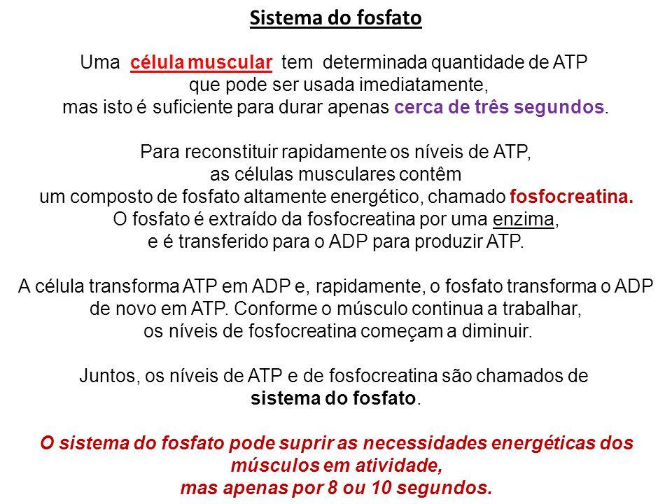 Sistema do fosfato Uma célula muscular tem determinada quantidade de ATP que pode ser usada imediatamente, mas isto é suficiente para durar apenas cer