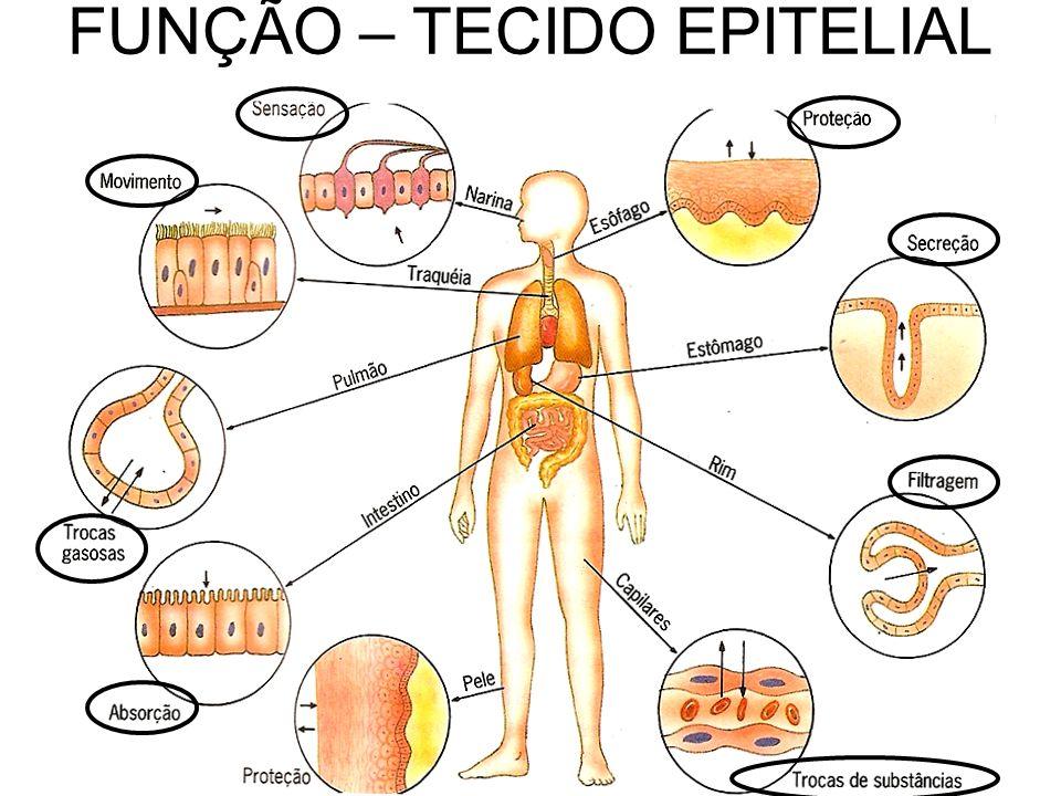 - CÉLULAS JUSTAPOSTAS - POUCA / NENHUMA SUBST. INTERCELULAR - AVASCULAR TECIDO EPITELIAL – CARACTERÍSTICAS
