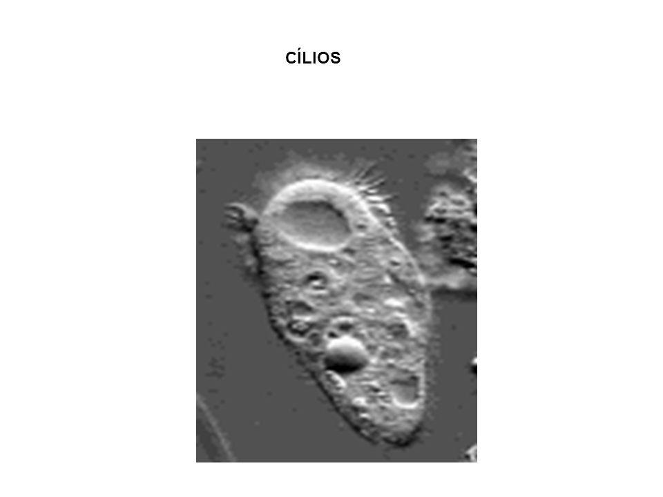 xx/xx20 DESMOSSOMOS Aumentam a superfície de adesão celular. Ex: Células epiteliais
