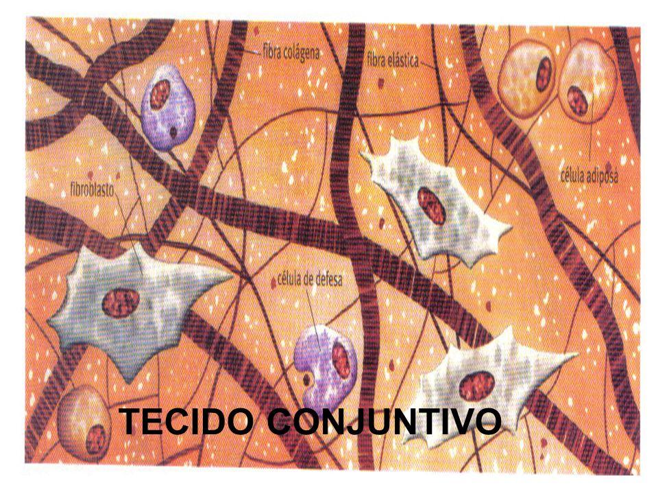 Unicelular Tubulosa longa e enovelada Acinosas ou Alveolares Túbulo-acinosa ou Túbulo-alveolar
