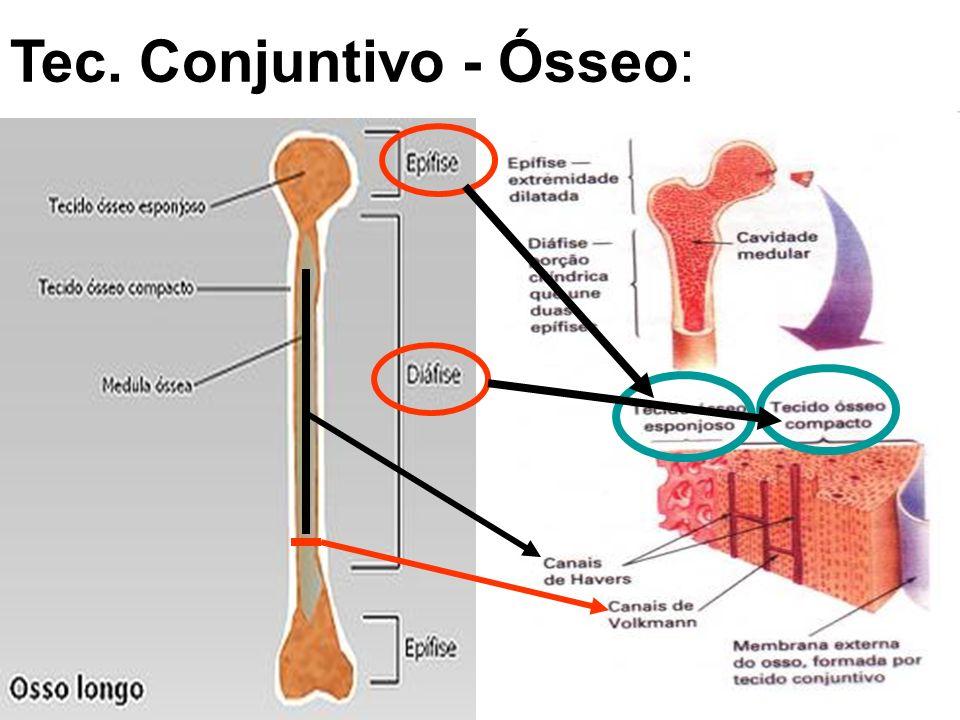 Tec. Conjuntivo - Cartilaginoso: -Principal célula: CONDRÓCITO -Avascular (revestido pelo PERICÔNDRIO) Pode ser a CARTILAGEM: -Hialina (Articulações)