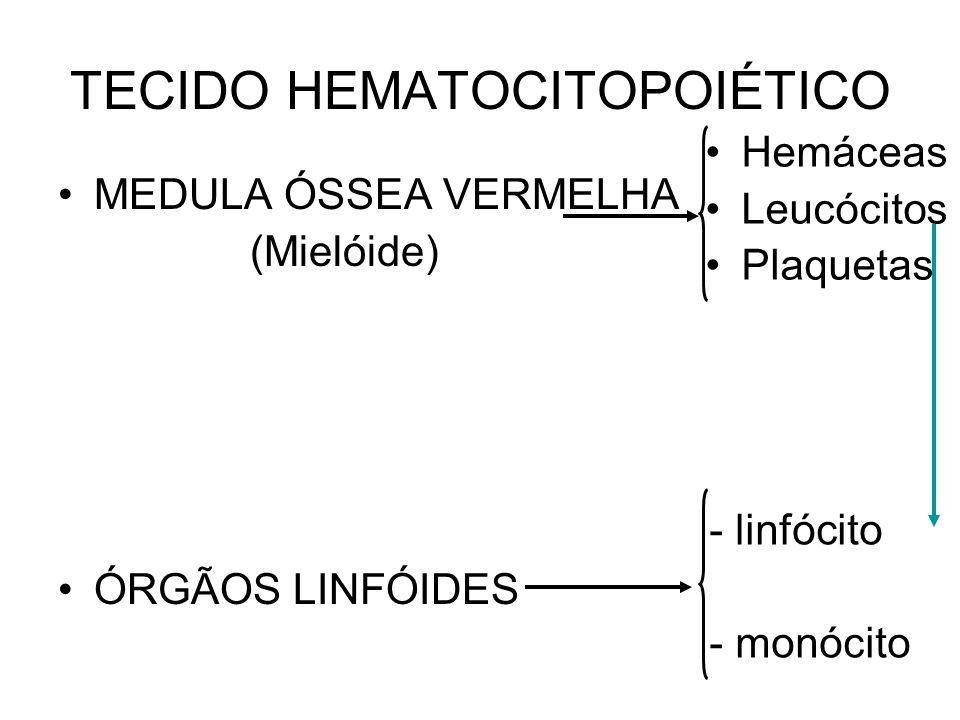 TECIDO HEMATOPOIÉTICO - MIELÓIDE Célula totipotentes – hemocitoblasto