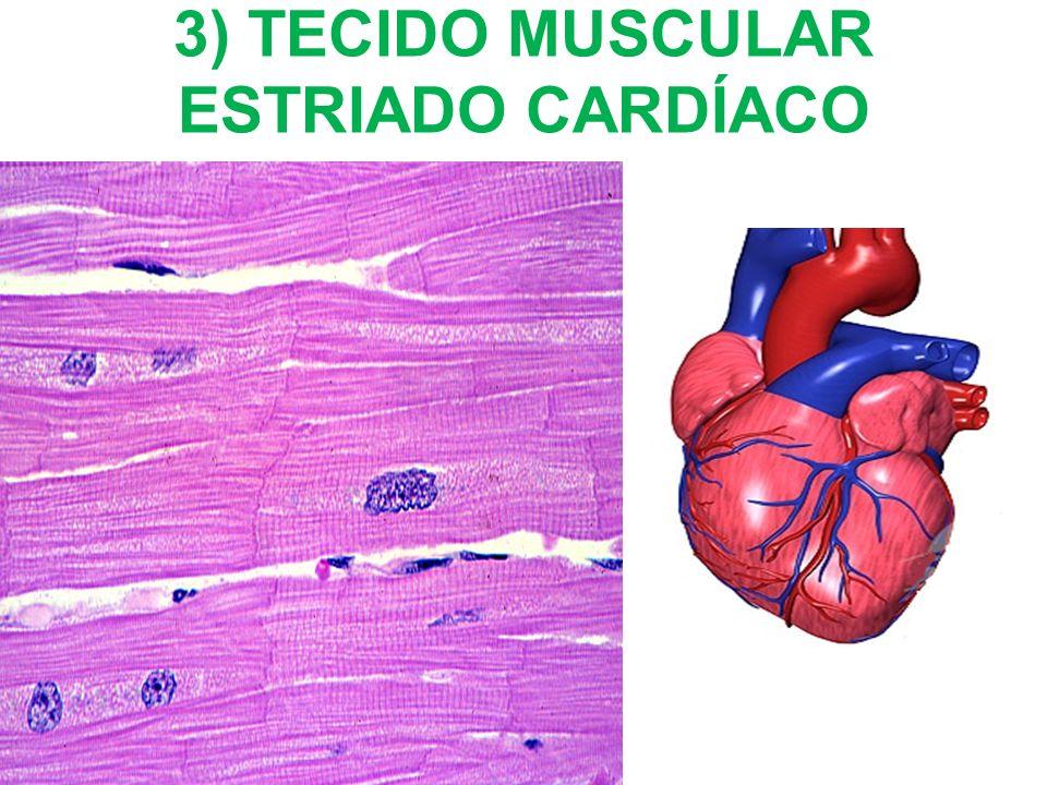 2) TECIDO MUSCULAR LISO